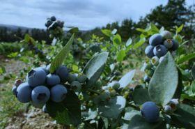 BerryWorld SA forecasts big blueberry crop