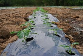 Veg growers seek plastic mulch alternative