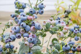 Inka's Berries expands global footprint