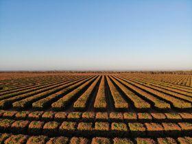 Piñata Farms prepares for harvest