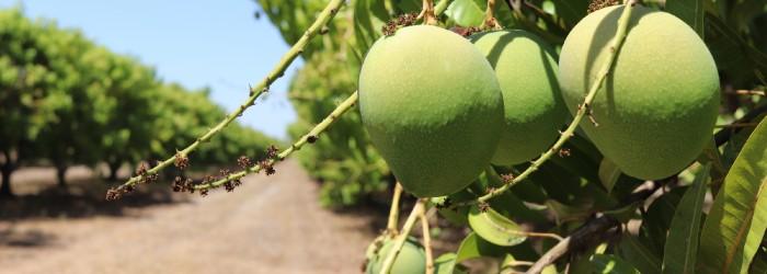 Mango season in full swing