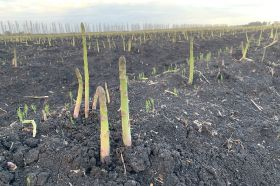 China beckons for Australian asparagus