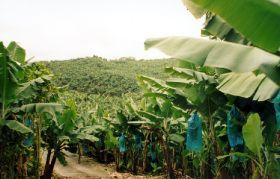 Guadeloupe bananas near organic status