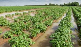 Dogged potato farmers defy the rain