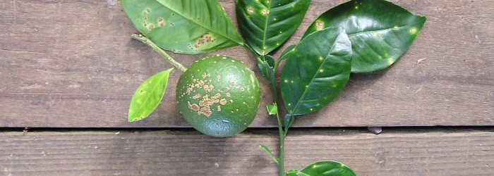 Western Australia free of citrus canker