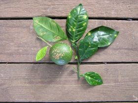 Citrus canker intercepted at border