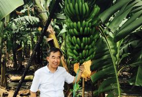 Scientists share banana variety