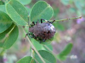 Stink bug targeted with new £250k grant