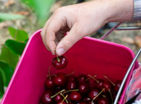 High hopes for NZ cherry campaign
