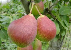 RSA hopeful of China pear deal