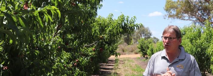 New varieties propel Australian stonefruit
