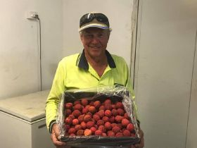 First seedless lychees grown in Australia