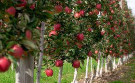 Oppy amplifies apple offering