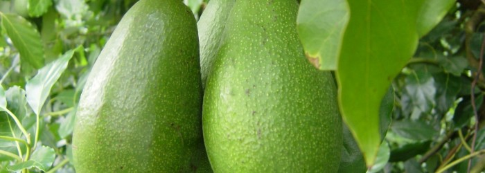 Mission Produce targets RSA avocados