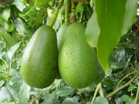 South Africa anticipating strong avocado crop