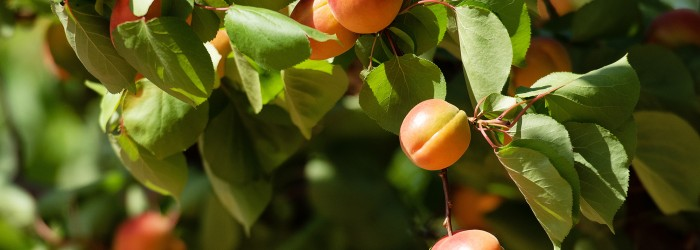 Aussie stonefruit a hit during CNY