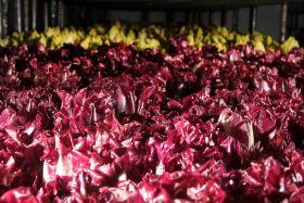 Chicory sales grow at Waitrose