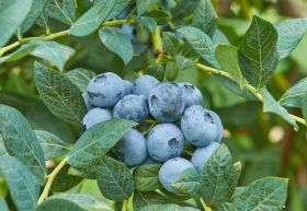 Fall Creek unveils new blueberry varieties
