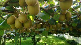 Zespri alert to mystery kiwifruit disease