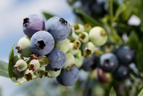 China grants access for US blueberries