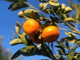 RSA citrus waits on US decision