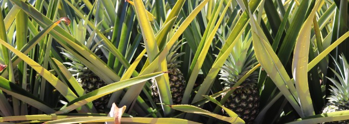 Taiwanese pineapples to reach Australia