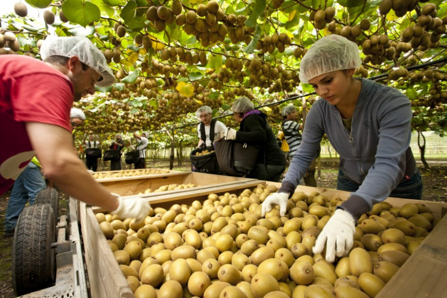 New Zealand S 2020 Kiwifruit Season Begins