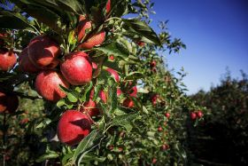 Positive signs for NZ apple and pear crop