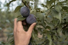 Australian plums to be globally commercialised by AIGN
