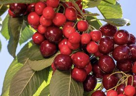 US cherries expecting smaller crop for 2020