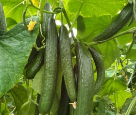 BASF has high hopes for summer cucumber