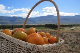 Sharon fruit picking begins in RSA