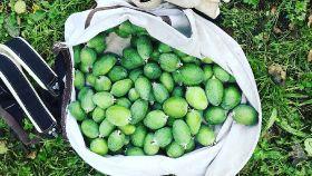 Strong crop for NZ feijoas