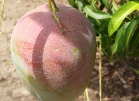 SIIM mangoes head to Europe