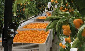 T&G begins NZ mandarin harvest