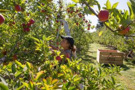 NZ apple exports face slow start
