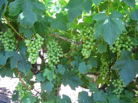 Mexico kicks off 2020 table grape harvest