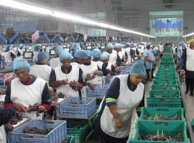 Mixed season for Southern Africa grapes