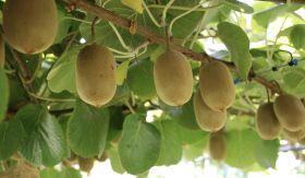 Out-of-court settlement ends kiwifruit lawsuit
