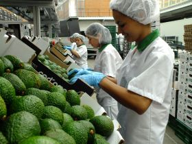 Cartama celebrates Chinese first for Colombian avos