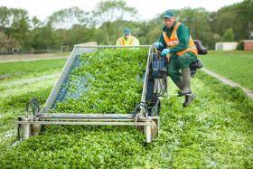 Brits join watercress workforce