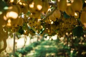 Partners eye kiwifruit breeding JV