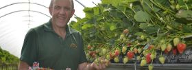 Strawberry production surges in record spring
