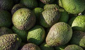 Peruvian avocado exports jump