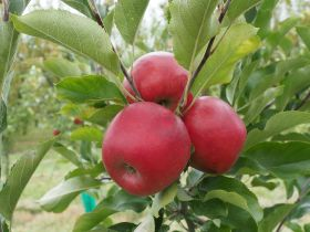 Promising results for new apple varieties