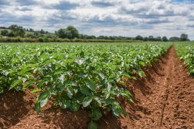 Potato growers on high alert for blight