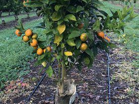 T&G Global diversifies citrus portfolio