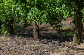 Precision optimises avocado yields
