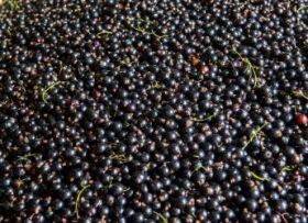 """First crop of """"climate resilient"""" blackcurrants"""