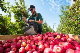 Record campaign for NZ apples and pears
